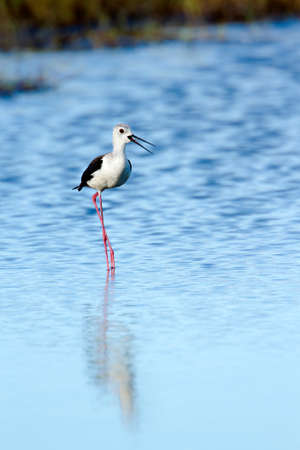 black winged stilt: Black winged stilt Himantopus himantopus Sri Lanka Stock Photo