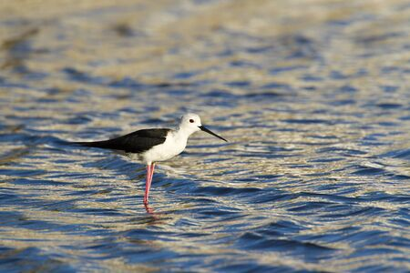himantopus: Himantopus himantopus Himantopus himantopus stilt Blackwinged in Sri Lanka Stock Photo