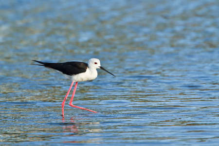 himantopus: Blackwinged stilt Himantopus himantopus in Sri Lanka
