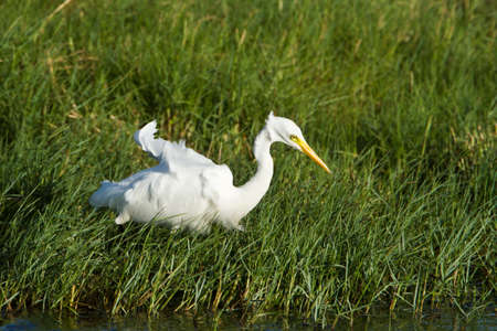 intermediate: Ardea intermedia intermediate egret in the grass