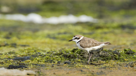 plover: Charadrius alexandrinus kentish plover was swamp Stock Photo