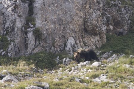 poaching: Marsicanus Ursus arctos, brown bear walking Marsican mountains in Abruzzo, Italy
