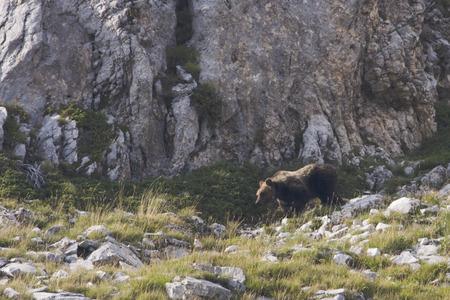Marsicanus Ursus arctos, brown bear walking Marsican mountains in Abruzzo, Italy