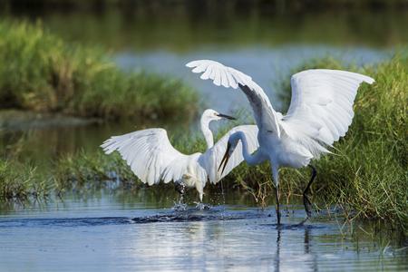 ardeidae: Ardea alba; Egretta garzetta, great egret and little egret in a swamp in Pottuvil, Sri Lanka