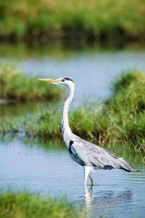 gray herons: Ardea cinerea, gray heron in a swamp, Pottuvil, Sri Lanka
