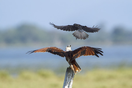 cuervo: specie undue Haliastur, brahminy kite in Sri Lanka