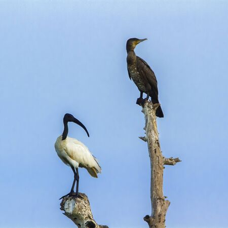 specie: Threskiornis melanocephalus specie; Phalacrocorax fuscicollis Stock Photo