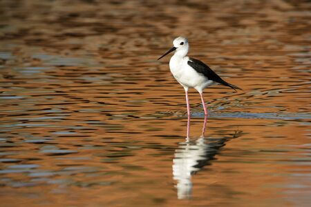 black winged stilt: specie Himantopus himantopus, Himantopus himantopus specie, black winged stilt in Sri Lanka