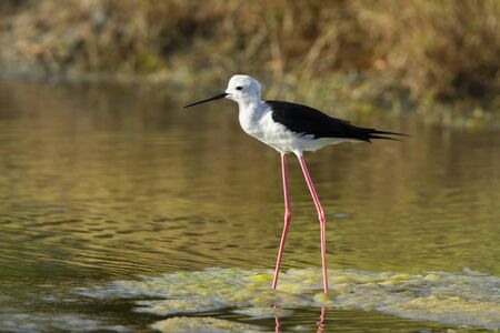 himantopus: Himantopus himantopus specie, black winged stilt in Sri Lanka