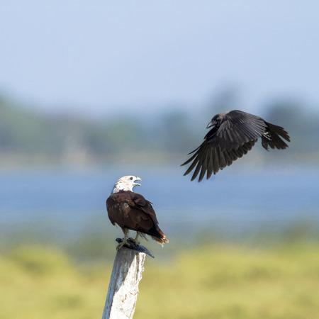 corvidae: specie undue Haliastur, brahminy kite in Sri Lanka