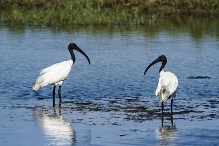 black headed: Threskiornis melanocephalus specie, black headed ibis, in Arugam bay lagoon Stock Photo