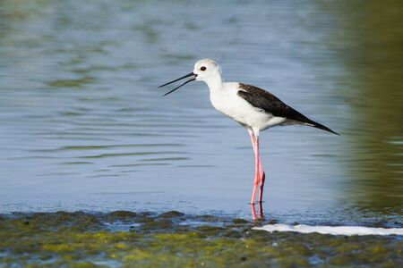 black winged stilt: Himantopus himantopus specie, black winged stilt, in Arugam bay lagoon