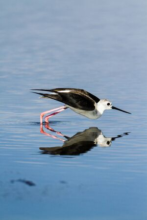 himantopus: Himantopus himantopus specie, black winged stilt, in Arugam bay lagoon