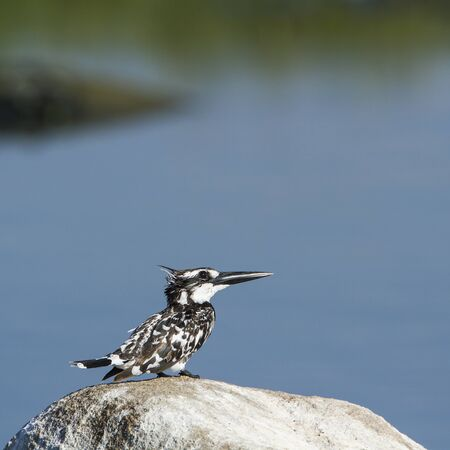alcedinidae: Ceryle rudis specie, pied kingfisher, in Arugam bay lagoon Stock Photo