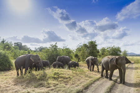 yala: Elephas maximus maximus
