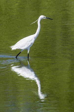 ardeidae: specie little egret Egretta garzetta in Arugam bay lagoon