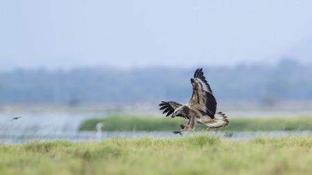 sea eagle: Haliaeetus leucogaster specie hunting in flight, white bellied sea eagle