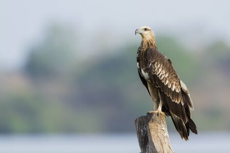 sea eagle: Haliaeetus leucogaster specie immature in Arugam bay lagoon, white sea eagle beliied