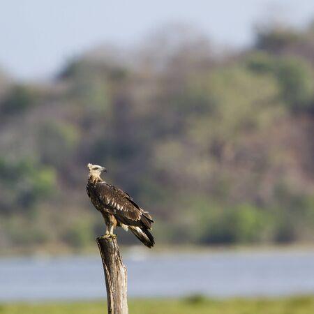 sea eagle: Haliaeetus leucogaster specie, white bellied sea eagle in Pottuvil nature reserve Stock Photo