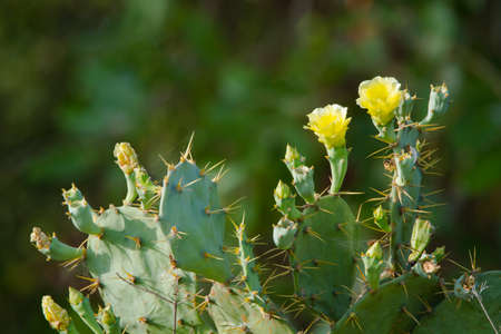 opuntia: specie Opuntia ficus-indica, barbary fig nature reserve in Pottuvil Stock Photo