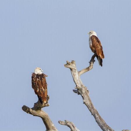 kite: specie undue Haliastur, brahminy kite in nature reserve of Pottuvil