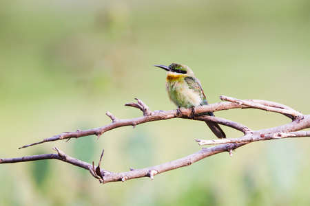 insectivorous: Merops leschenaulti specie, chestnut headed bee-eater in Arugam bay lagoon