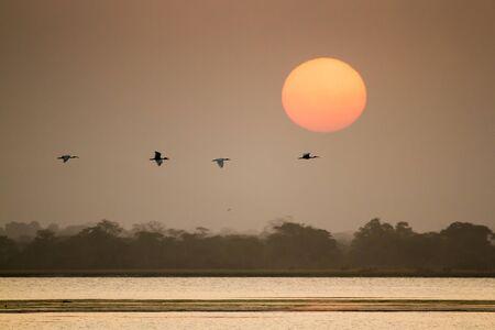 black headed: Black headed ibis, Threskiornis melanocephalus specie in Arugam bay lagoon Stock Photo