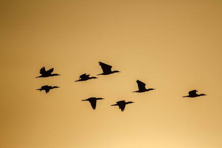 phalacrocoracidae: Indian flying cormorants, Phalacrocorax specie fuscicollis nature reserve in Pottuvil