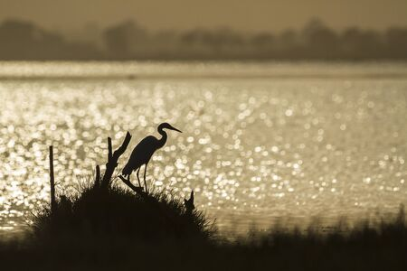 great bay: great egret is backlight, Ardea alba specie in Arugam bay lagoon Stock Photo