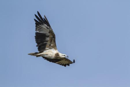 sea eagle: white bellied sea eagle, Haliaeetus leucogaster specie in Pottuvil nature reserve