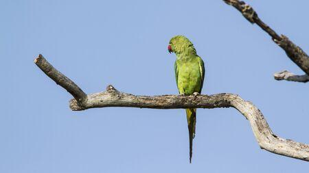 periquito: subi� perico anillado, Psittacula especie krameri en Pottuvil reserva natural