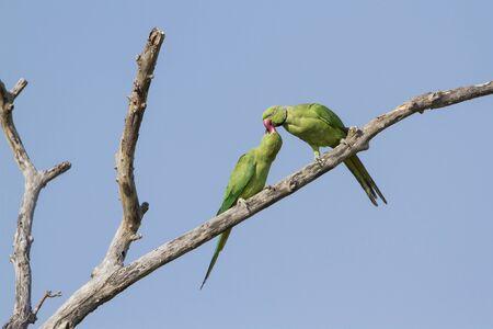psittacidae: pair of rose ringed parakeet, Psittacula krameri specie in Pottuvil nature reserve