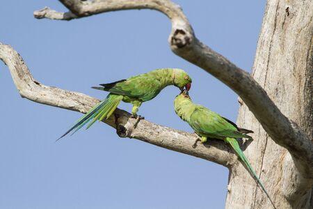 ringed: rose ringed parakeet, Psittacula krameri specie in Pottuvil nature reserve Stock Photo