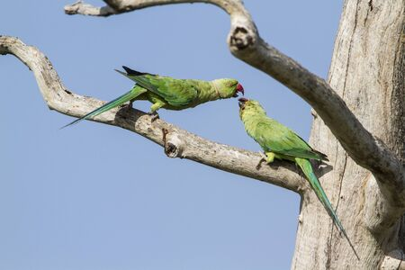 psittacidae: rose ringed parakeet, Psittacula krameri specie in Pottuvil nature reserve Stock Photo