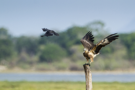 sea eagle: white bellied sea eagle fighting with Crow, specie Haliaeetus leucogaster nature reserve in Pottuvil