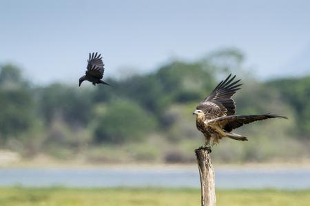 sea eagle: white bellied sea eagle flying, specie Haliaeetus leucogaster nature reserve in Pottuvil