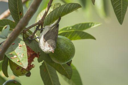 agile: Dicaeum specie agile, thick-billed-flowerpecker in Sri Lanka Stock Photo