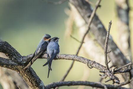 insectivorous: pair of Crested Treeswift, specie Hemiprocne coronata, in Sri Lanka Stock Photo