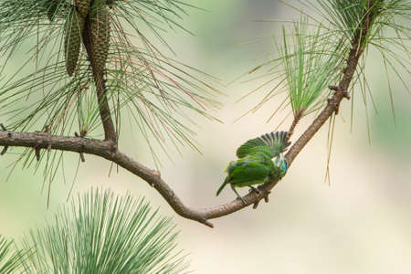 specie: Psilopogon flavifrons specie, yellow fronted Barbet