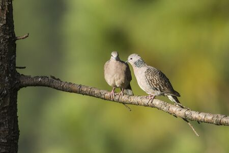 spotted: Spotted dove, Streptopelia chinensis specie