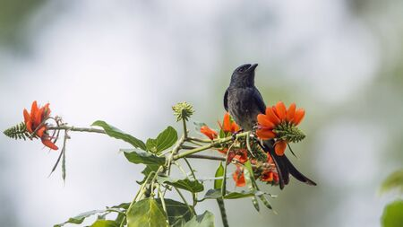 corvidae: Ashy drungo on flowers, specie Dicrurus leucophaeus