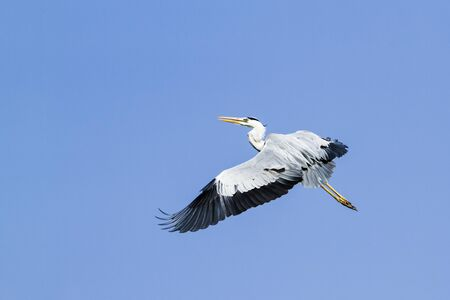 ardea cinerea: specie Ardea cinerea, gray heron flying in Sri Lanka