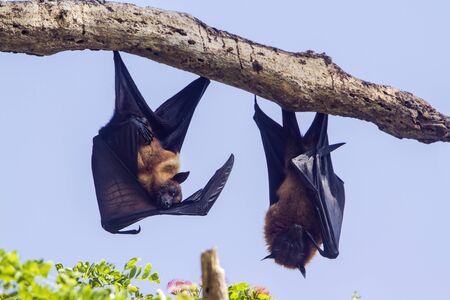 pteropus: specie Pteropus giganteus, indiano Flying Fox in Sri Lanka Archivio Fotografico
