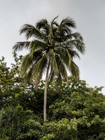 perhentian: coconut tree in vegetation, Perhentian island, Malaysia
