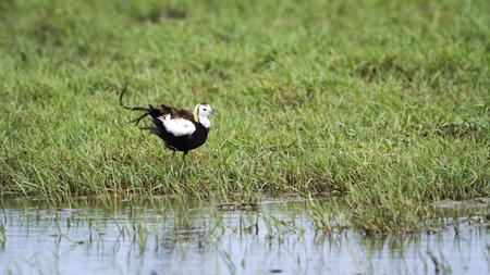 jacana: specie Hydrophasianus chirurgus, specie Hydrophasianus chirurgus, pheasant-tailed jacana in Sri Lanka