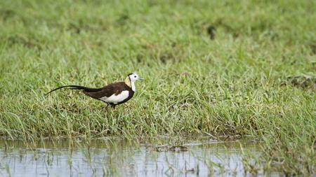 jacana: specie Hydrophasianus chirurgus, pheasant-tailed jacana in Sri Lanka