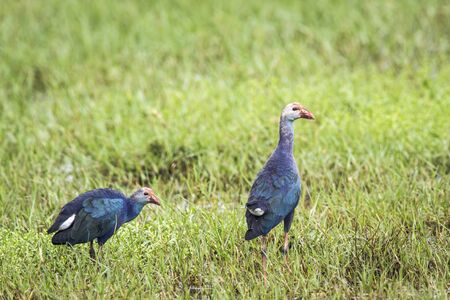 purple swamphen: specie Porphyrio porphyrio, purple swamphen in the grass, Sri Lanka