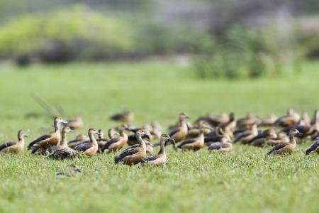 lesser: specie Dendrocygna javanica, lesser whistling ducks in the grass