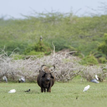subcontinent: specie Bubalus arnee, wild water buffalo in Sri Lanka Stock Photo