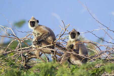 sri: specie Semnopithecus priam, tufted gray langur group Stock Photo